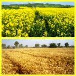 رئیس سازمان جهادکشاورزی خوزستان : خرید دانههای طلایی گندم، فقط به شیوه تضمینی و توسط دولت انجام میشود